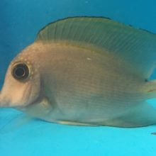 Blue eye tang