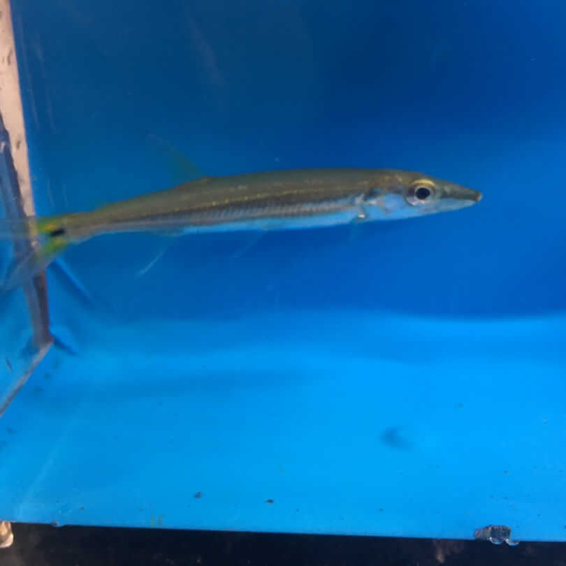Yellow tail barracuda for sale exotic fish shop call for Black ghost knife fish for sale