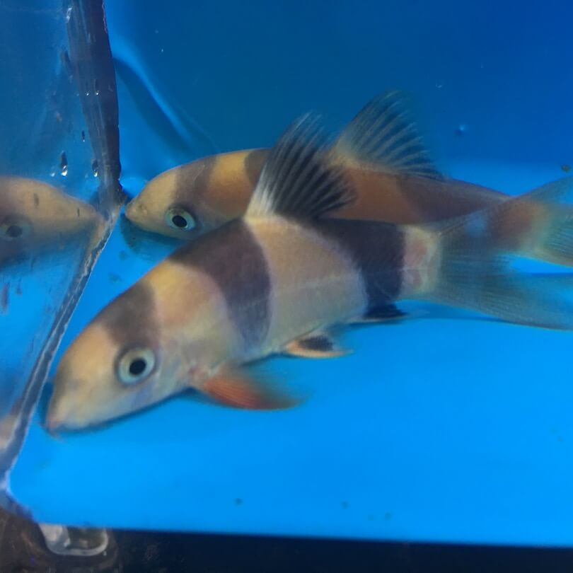 Clown loach for sale exotic fish shop call now 774 400 for Exotic fish shop