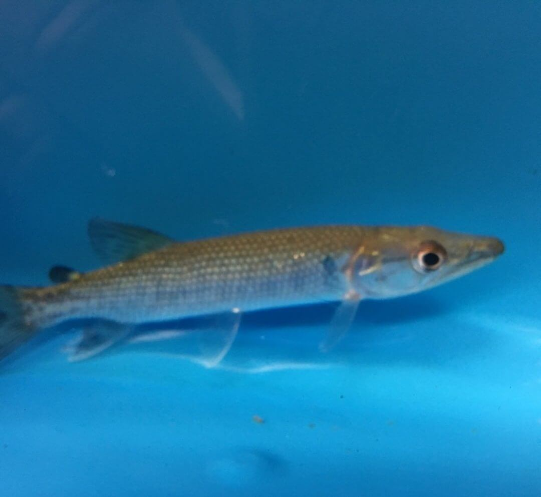 Exotic fish shop african tiger pike call now 774 400 4598 for Two fish apparel