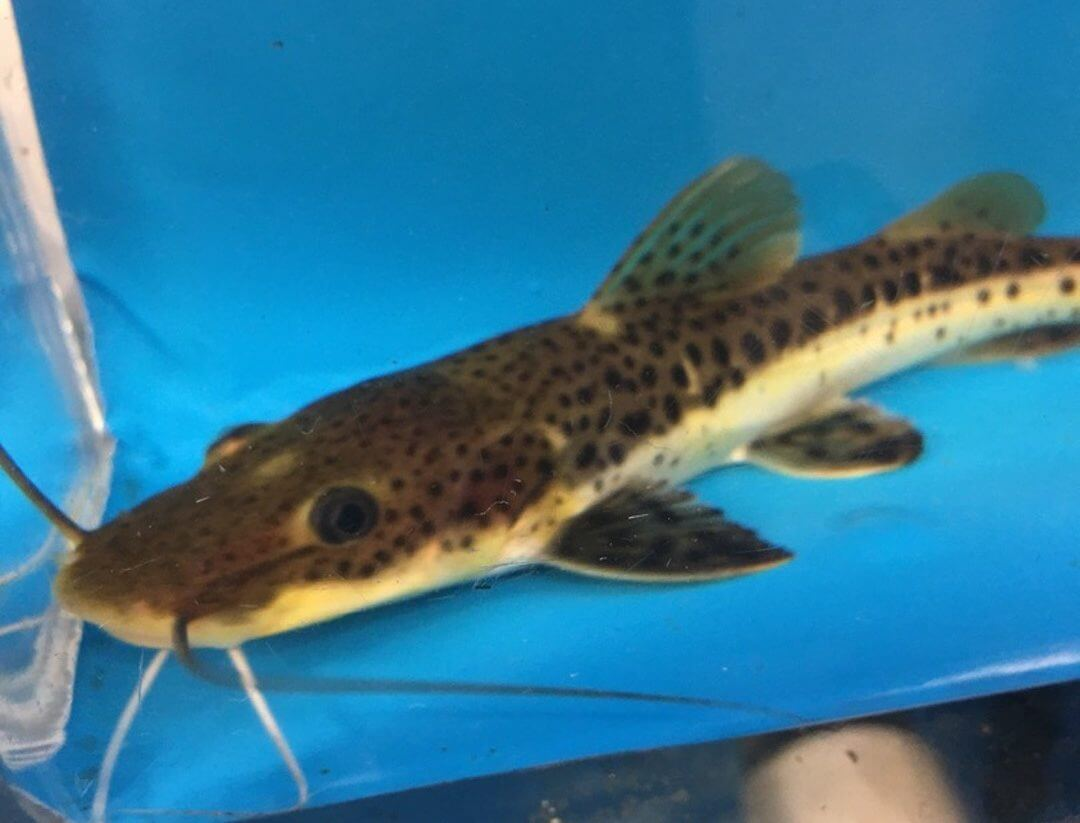 Catfish For Sale >> Hybrid catfish for sale   Exotic Fish Shop   Call now 774-400-4598