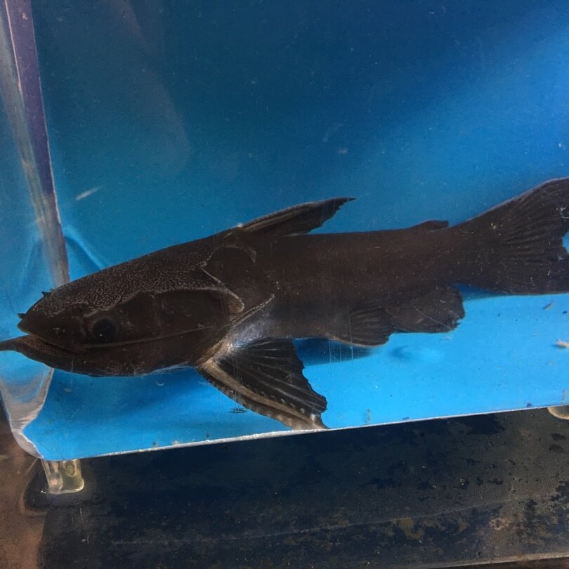 Black driftwood catfish for sale exotic fish shop call for Black ghost knife fish for sale