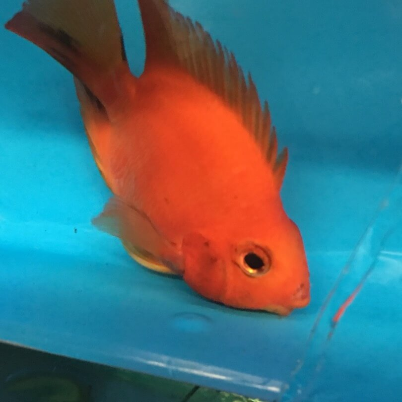 Red ingot fish for sale exotic fish shop call 774 400 4598 for Exotic fish shop