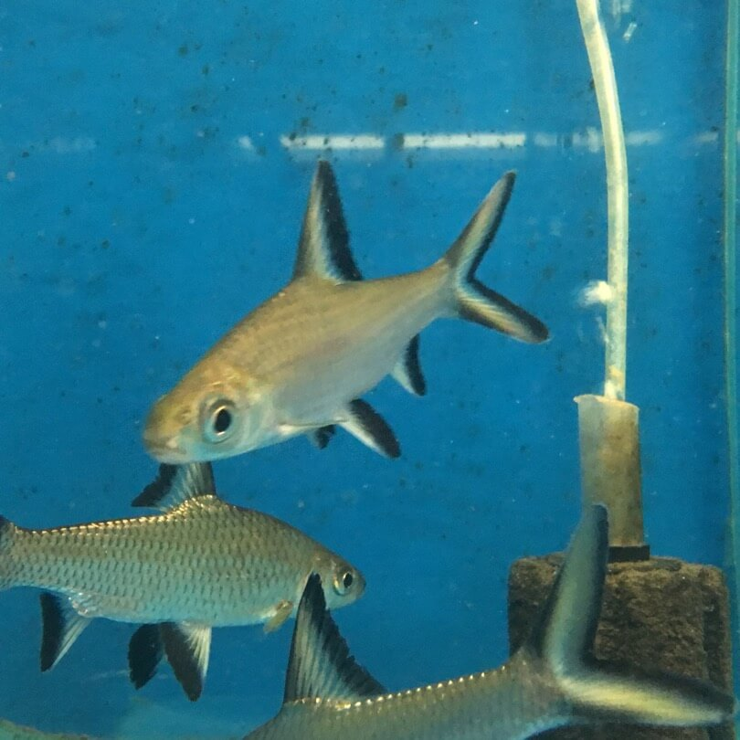 Tricolor shark for sale exotic fish shop call 774 400 4598 for Exotic fish shop