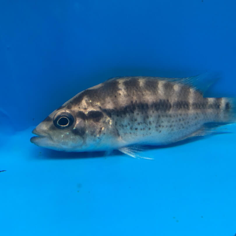 Dovii cichlid exotic fish shop call 774 400 4598 for Exotic fish shop