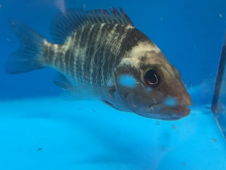 Freshwater red snapper for sale exotic fish shop call for Exotic fish shop