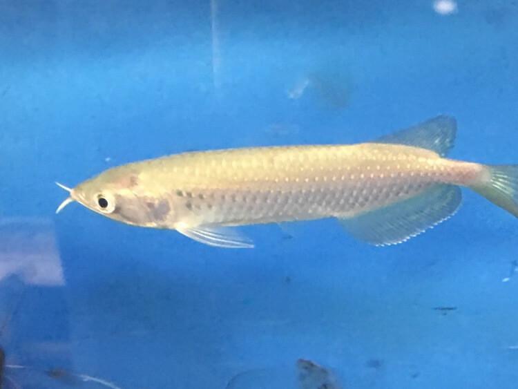 Golden jardini arowana for sale exotic fish shop call for Exotic fish shop