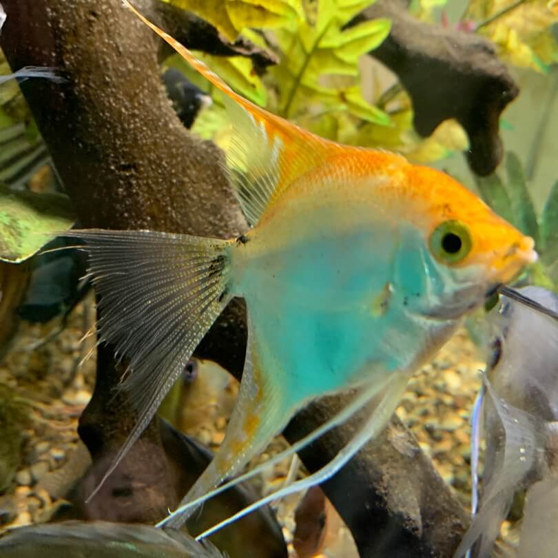 Lyre Tail Gold Angel Fish For Sale Exotic Fish Shop Call 774 400 4598